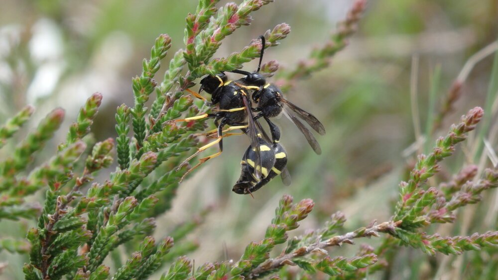 Heath Potter Wasps, Eumenes coarctatus